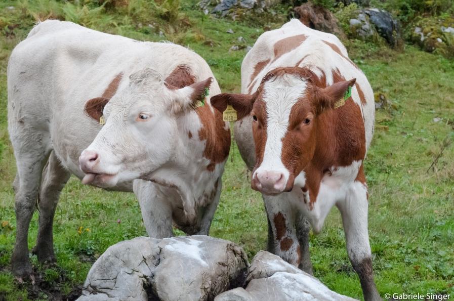 Kühe beim Salz schlecken