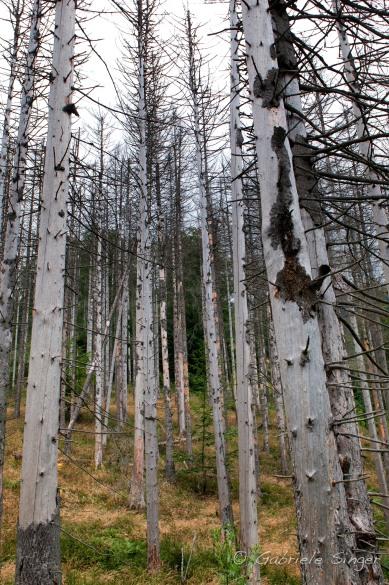 Urwald Dürrenstein - hier wird auch der Borkenkäfer als Bestandteil des natürlichen Geschehens angenommen
