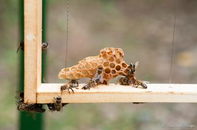 freies Bauen der Bienenwaben